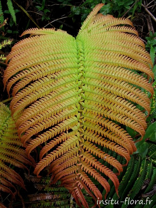 'Ama'u ; Sadleria cyatheoides Kaulf. - Hawai'i Volcanoes National Park, 2005
